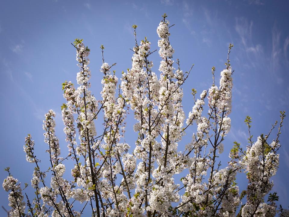 Flowering tree in spring. Arbre en fleur au printemps.
